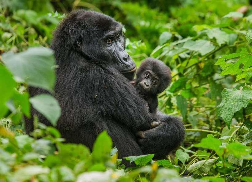 Ruanda gorilleri