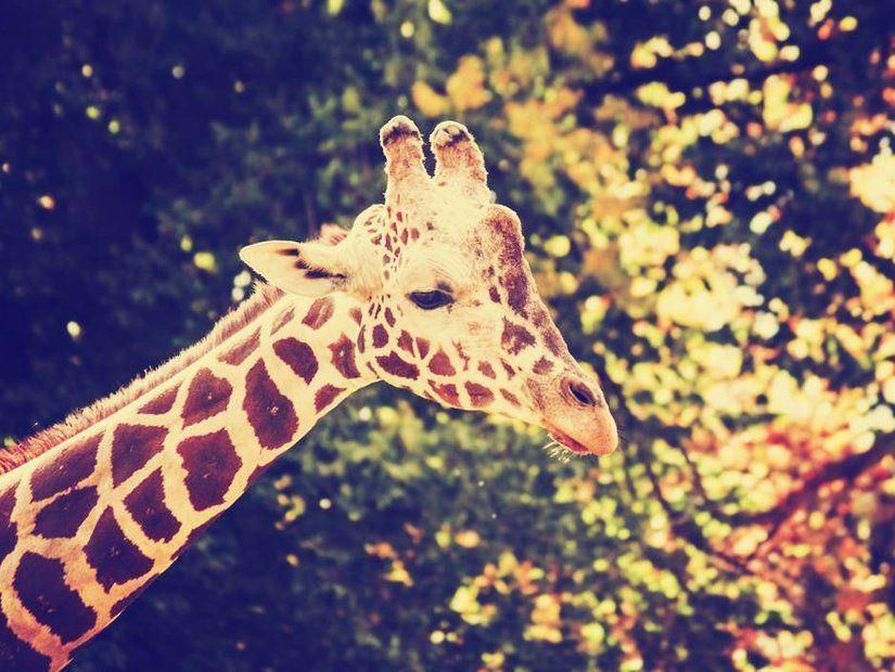 Afrika'da safari yaparken