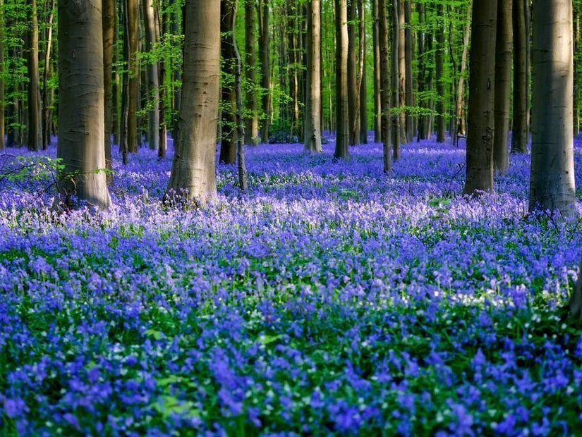 Hallerbos Ormanı'nın çan çiçekleri