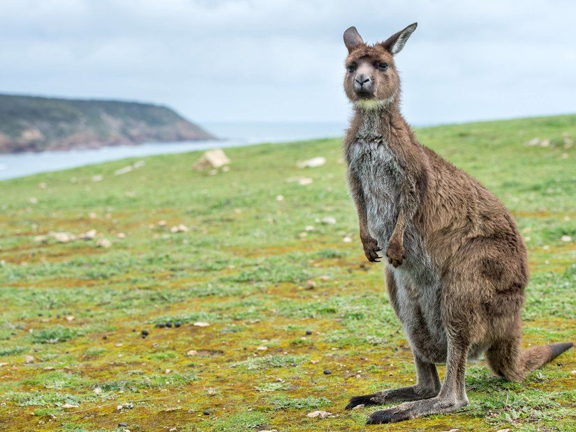 Kanguru Adası